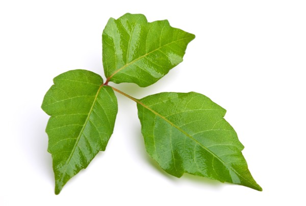 Image of Rhus Tox (Poision Ivy) which can help joins and skin
