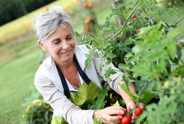 Gardening image of women pruning and picking tomatoes